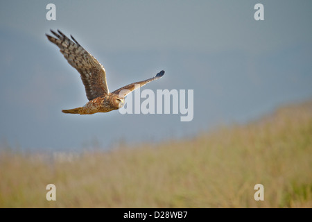 Female Northern Harrier  in flight in over a meadow in  California (Circus cyaneus) - Stock Photo