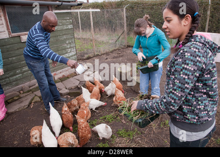 Feeding rescued battery chickens on an allotment. - Stock Photo