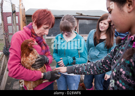 Looking at rescued battery chickens on an allotment. - Stock Photo