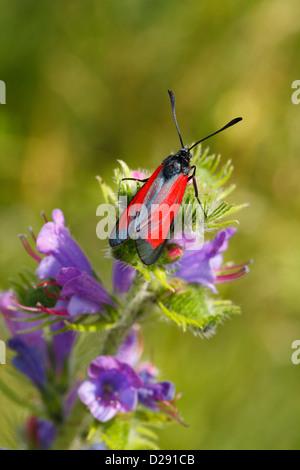 Transparent Burnet (Zygaena purpuralis) moth resting on Viper's Bugloss. Ariege Pyrenees, France. June - Stock Photo