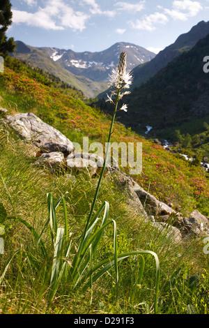 White Asphodel (Asphodelus albus) flowering in mountain habitat. Ariege Pyrenees, France. June - Stock Photo