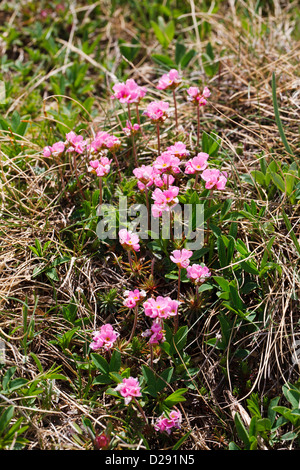 Pink Rock-jasmine (Androsace carnea) flowering, in mountains at 2400m, Pyrenees, Port d'Envalira, Andorra. June. - Stock Photo