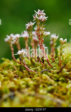 White Stonecrop (Sedum album) flowering on a stone wall. Ariege Pyrenees, France. June - Stock Photo