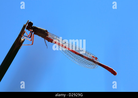 Male Small Red Damselfly (Ceriagrion tenellum). Ynys Hir RSPB Reserve, Ceredigion, Wales. - Stock Photo