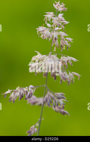 Flower head of Yorkshire Fog grass (Holcus lanatus). Powys, Wales. August. - Stock Photo