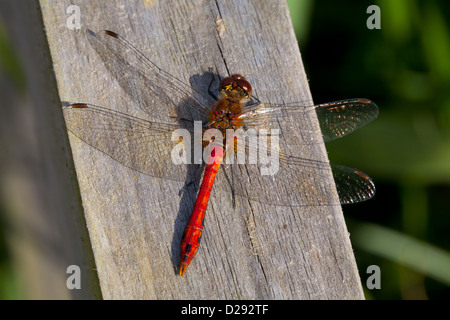 Male Ruddy Darter dragonfly (Sympetrum sanguineum) basking on a fence post. Woodwalton Fen NNR. Cambridgeshire, - Stock Photo
