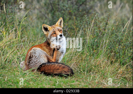 Red fox (Vulpes vulpes) in thicket grooming its pelt by scratching fur with hind leg in autumn - Stock Photo