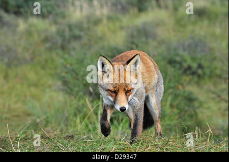 Red fox (Vulpes vulpes) stalking prey in meadow by following scent trail near forest edge