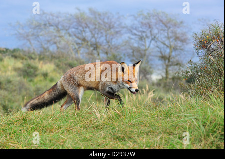 Red fox (Vulpes vulpes) hunting prey by following trail by scent in grassland at forest edge