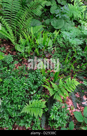 Undergrowth vegetation in forest showing ferns and bramble in spring, Pyrenees, France - Stock Photo