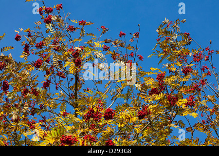 Berries and Autumn leaves of Rowan or Mountain Ash tree (Sorbus aucuparia). Powys, Wales. October. - Stock Photo