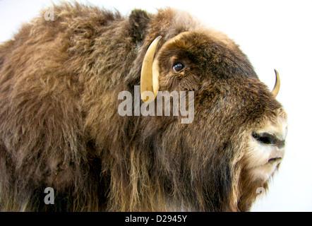 Muskox, Resolute Bay, Nunavut, Arctic Canada - Stock Photo