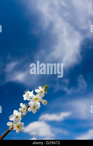 Twig of abloom tree - Stock Photo