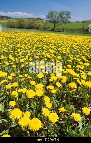 Spring landscape with dandelions - Stock Photo