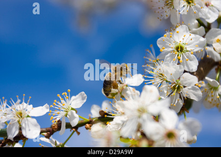 Bee on abloom tree - Stock Photo