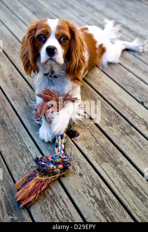 A Cavalier King Charles Spaniel dog - Stock Photo