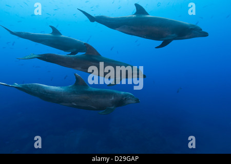 A pod of bottlenose dolphins (tursiops truncatus) swimming in waters of Archipielago de Revillagigedo, Las Cuevitas - Stock Photo