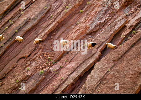 A LINE OF SHEEP CROSSING AND GRAZING ON A ROCK FACE IN MOROCCO - Stock Photo