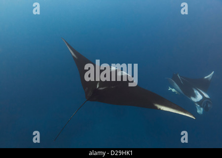 Two giant oceanic manta rays (Manta birostris) swimming off of Archipielago de Revillagigedoo Mexico, Punta Tosca - Stock Photo