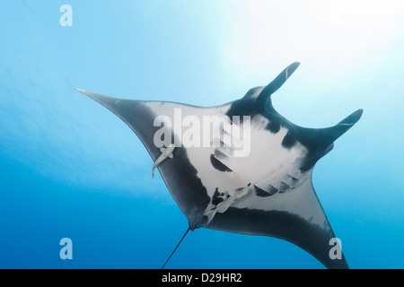 Giant oceanic manta ray (Manta birostris) swimming in Archipielago de Revillagigedo Mexico, Rocio del Mar, Socorro - Stock Photo