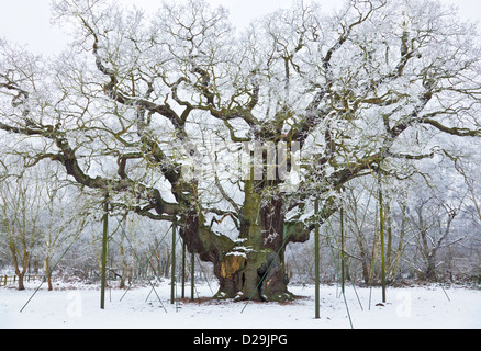 the major oak tree in the fresh snow sherwood forest country park edwinstowe - Stock Photo