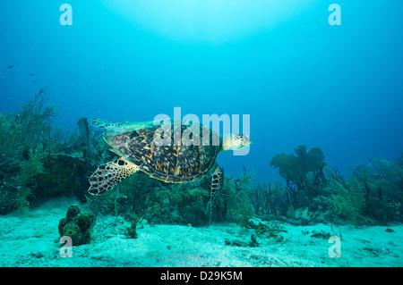 Loggerhead Sea Turtle (Caretta caretta) underwater, Bayahibe, Dominican Republic - Stock Photo