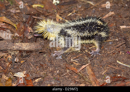 Lowland streaked tenrec on forest floor in Madagascar - Stock Photo