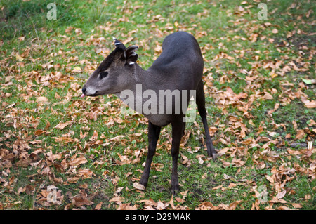Tufted deer - Stock Photo