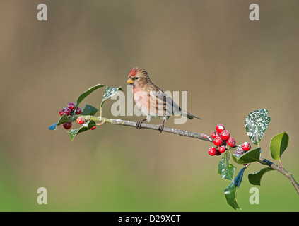 Lesser Male Redpoll. (Carduelis cabaret) Perched On  Snow Covered Holly Berries. Winter. Uk - Stock Photo