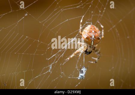 cross orbweaver, European garden spider in its web with prey / Araneus diadematus - Stock Photo