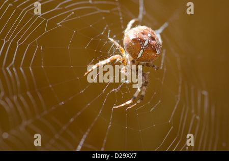 cross orbweaver, European garden spider in its web / Araneus diadematus - Stock Photo