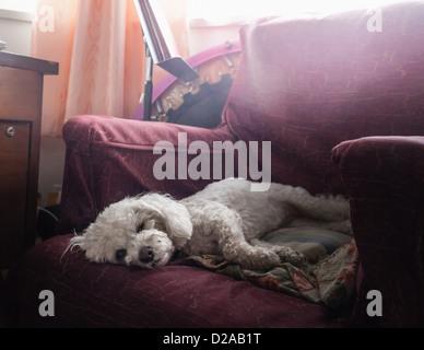Dog sleeping in armchair - Stock Photo