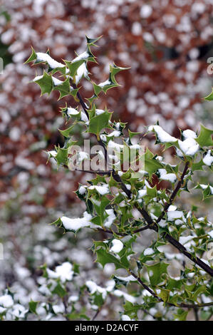 Aberystwyth, Wales, UK. 18th January 2013. Strong winds have driven snow into the leaves of this holly bush in Comins - Stock Photo