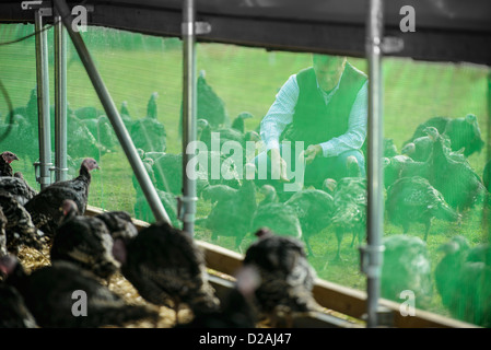 Turkeys in barn on free range farm - Stock Photo