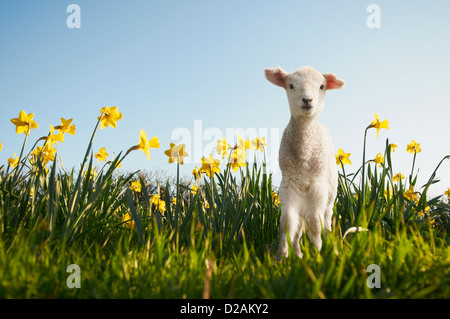 Lamb walking in field of flowers Stock Photo
