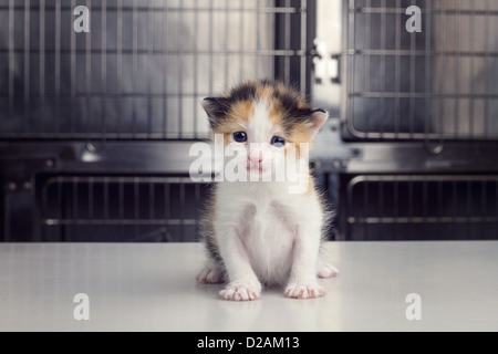 A baby kitten sits on an exam table at a veterinarians office - Stock Photo