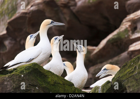 Northern Gannets birds nesting on rocky seacliffs on Isle of Noss National Nature Reserve during summer breeding - Stock Photo