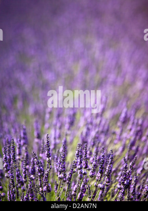 Close up of purple flowers in field - Stock Photo