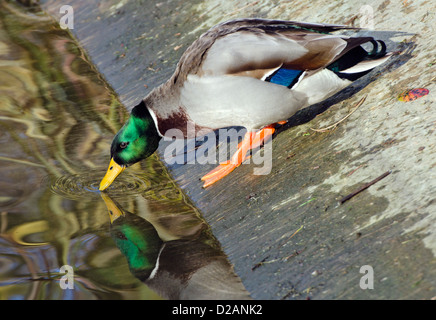 Male Mallard duck (Anas platyrhynchos) climbing down a steep bank and looking at his reflection in water. - Stock Photo