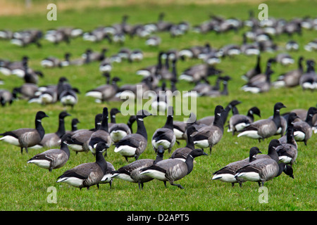 Brent geese (Branta bernicla) flock feeding on grass in field - Stock Photo