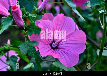 Rose Mallow, (Lavatera trimestris), in july. - Stock Photo