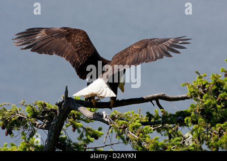 Bald Eagle (Haliaeetus leucocephalus) just landed on branch of a Douglas Fir near its nest at Denman Island, BC, - Stock Photo