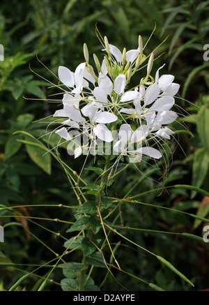 White Spider Flower, Cleome hassleriana (Cleome spinosa 'White Queen'), Cleomaceae. Native to southern South America. - Stock Photo