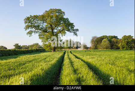 Wheat field in spring near the small village of South Dalton near the market town of Beverley in East Riding of - Stock Photo