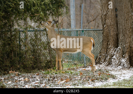 White tailed deer eating the cedar hedge in the backyard of a Toronto home - Stock Photo