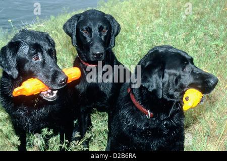 Three black Labrador retrievers holding orange retriever bumpers - Stock Photo