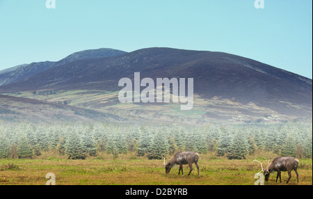 reindeer grazing under mountain on a foggy morning - Stock Photo