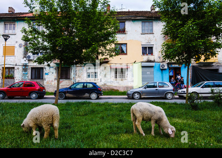 Lambs grazing the grass at a small street park in Tirana, Albania - Stock Photo