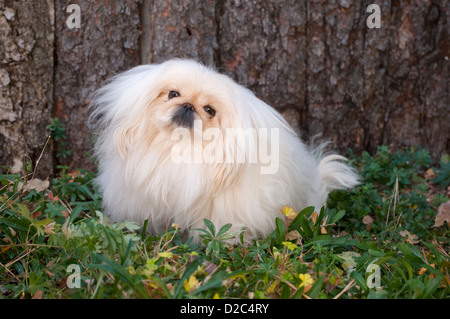 Pekingese sitting in front of fence - Stock Photo