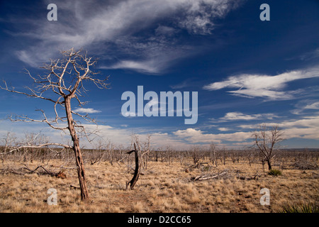 dead trees after a wildfire in Mesa Verde National Park in Colorado, United States of America, USA - Stock Photo